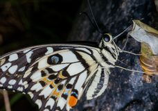 Бабочки насекомые которые помогают опылить цветки стоковое изображение