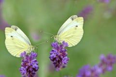 Бабочки на лаванде Стоковые Фото
