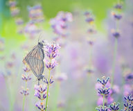 Бабочки на лаванде Стоковые Изображения