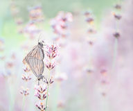 Бабочки на лаванде Стоковое Изображение