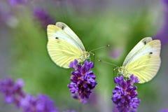 Бабочки на красивой лаванде Стоковое Фото