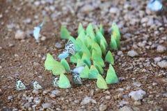Бабочки на национальном парке kgalagadi transfrontier Стоковая Фотография RF