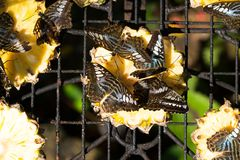 Бабочки на отрезанных ананасах Стоковое Изображение RF