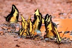 Бабочки на падениях ¹ Iguazà Стоковая Фотография RF