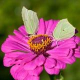 2 бабочки на розовом конце цветка вверх Стоковая Фотография