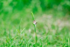 Бабочки на травах Стоковые Фотографии RF