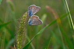 2 бабочки на траве щетинки Стоковые Изображения