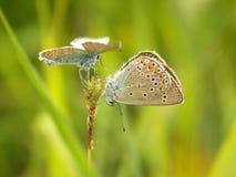 Бабочки на ухаживать дуэта травы Стоковая Фотография RF