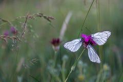 Бабочки на фиолетовом крупном плане макроса гвоздики Стоковое фото RF