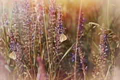 Бабочки на фиолетовых цветках луга Стоковое Изображение