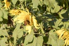 Бабочки на цветени солнцецвета Стоковое Фото