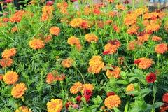 Бабочки на цветках Глаз павлина на ноготках Стоковые Изображения RF