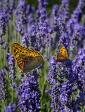 Бабочки на цветках лаванды Стоковая Фотография