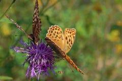 Бабочки на цветках предпосылки лета лопуха красивой стоковые изображения rf