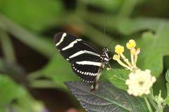 Бабочки на цветке в природе Стоковые Изображения