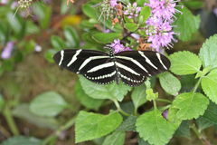 Бабочки на цветке в природе Стоковые Изображения RF