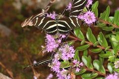 Бабочки на цветке в природе Стоковая Фотография RF