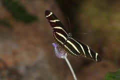 Бабочки на цветке в природе Стоковое Изображение