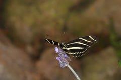 Бабочки на цветке в природе Стоковое фото RF