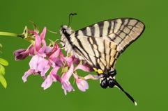 Бабочка на цветке, Pazala eurous Стоковое Изображение RF