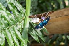 Бабочки на экзотическом тропическом цветке, эквадоре Стоковое фото RF
