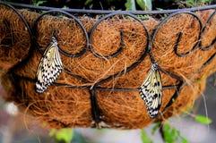 2 бабочки нимфы CeylonTree Стоковые Фотографии RF