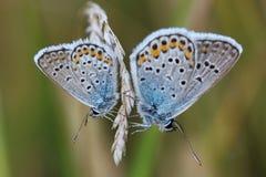 2 бабочки - общая синь (Polyommatus Икар) Стоковая Фотография RF
