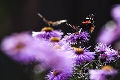 Бабочки опыляя астры фиолет, лето в саде Стоковые Изображения RF
