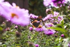 Бабочки опыляя астры фиолет, лето в саде Стоковое фото RF