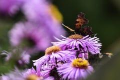 Бабочки опыляя астры фиолет, лето в саде Стоковые Изображения