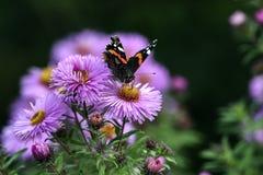 Бабочки опыляя астры фиолет, лето в саде Стоковые Фото