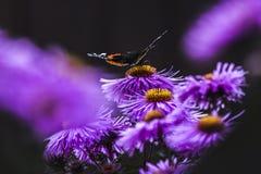 Бабочки опыляя астры фиолет, лето в саде Стоковое Фото