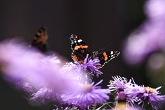 Бабочки опыляя астры фиолет, лето в саде Стоковое Изображение