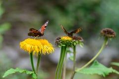 Бабочки подавая над цветком Крупный план макроса с красным butterfl Стоковые Изображения RF