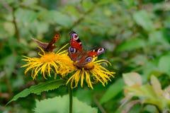 Бабочки подавая над цветком Крупный план макроса с красным butterfl Стоковое фото RF