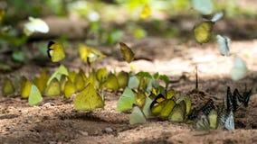 Бабочки подают минерал на национальном парке Kaeng Krachan, Стоковая Фотография RF