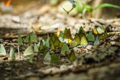 Бабочки подают минерал на национальном парке Kaeng Krachan, Стоковая Фотография
