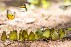 Бабочки подают минерал на национальном парке Kaeng Krachan, Стоковое Изображение RF
