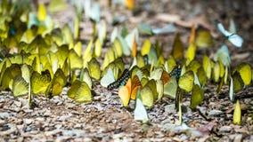 Бабочки подают минерал на национальном парке Kaeng Krachan, Стоковое Фото
