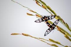 2 бабочки разводят на верхнем ухе сырцовых дерева риса и предпосылки неба стоковое изображение
