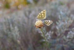 2 бабочки сидя на последнем осеннем полевом цветке Стоковое Изображение RF
