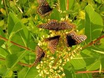 Бабочки собранные на цветках лета Стоковые Изображения