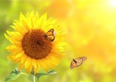 Бабочки солнцецвета и монарха на запачканной солнечной предпосылке Стоковые Изображения