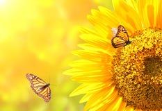Бабочки солнцецвета и монарха на запачканной солнечной предпосылке Стоковые Фото