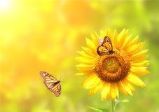 Бабочки солнцецвета и монарха на запачканной солнечной предпосылке Стоковое Изображение