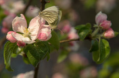 Бабочки сопрягают стоковое изображение rf