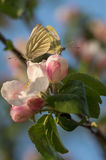 Бабочки сопрягают стоковая фотография rf