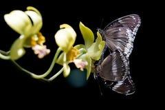 2 бабочки сопрягая на цветке Стоковые Фотографии RF