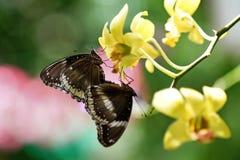2 бабочки сопрягая на цветке Стоковые Изображения