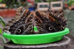 Бабочки сыча Стоковое фото RF